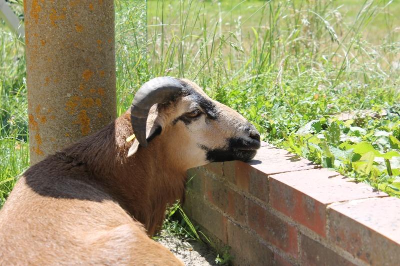 [résolu]vente/échange mouton du Cameroun Img_2810