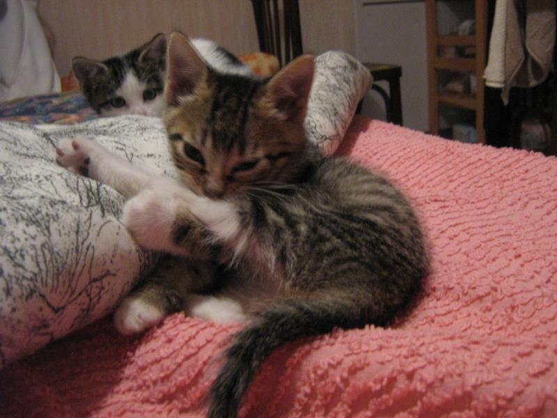 Guimauve, chatonne femelle, 2 mois Img_0113