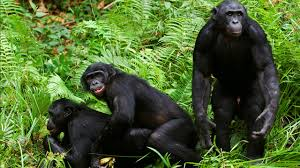 TED talk: Savage-Rumbaugh's work with bonobo apes Images15