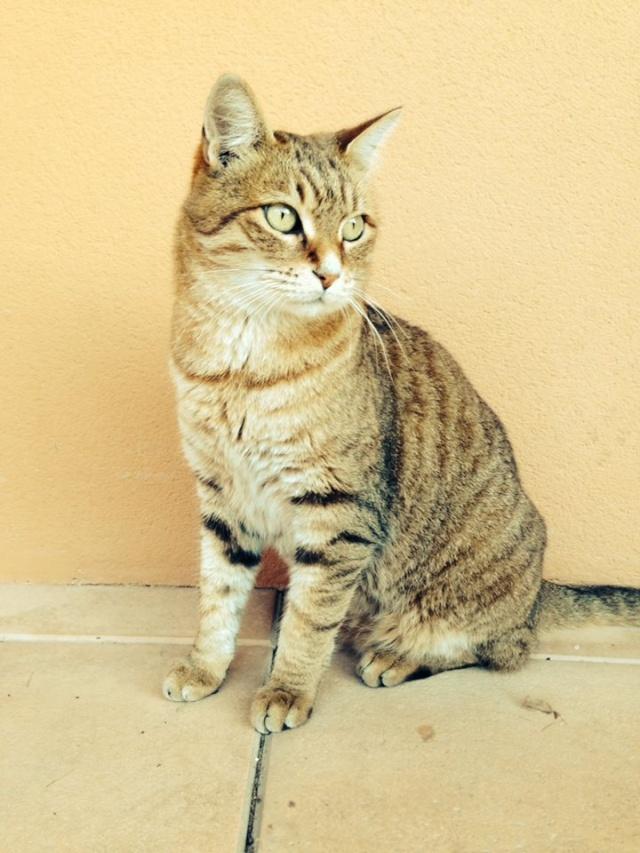 (adopté)chat tigré à adopter ou FA  (13)  19692310