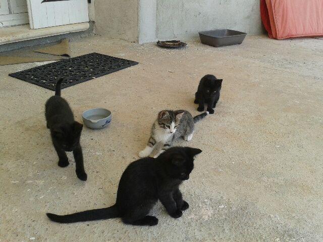 chatons nés le 31/03  la Féline Meyreuillaise (13) 20140613