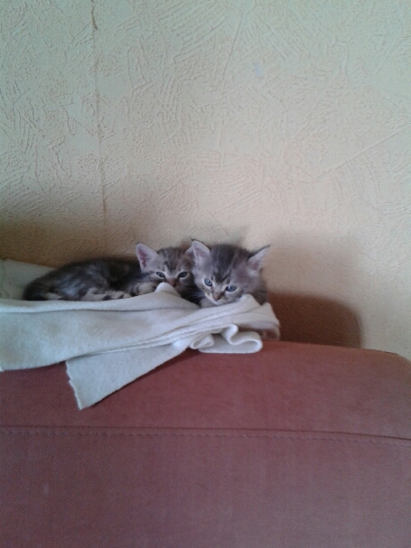 (un) deux chatons nés le 8/05 (13)  20140615