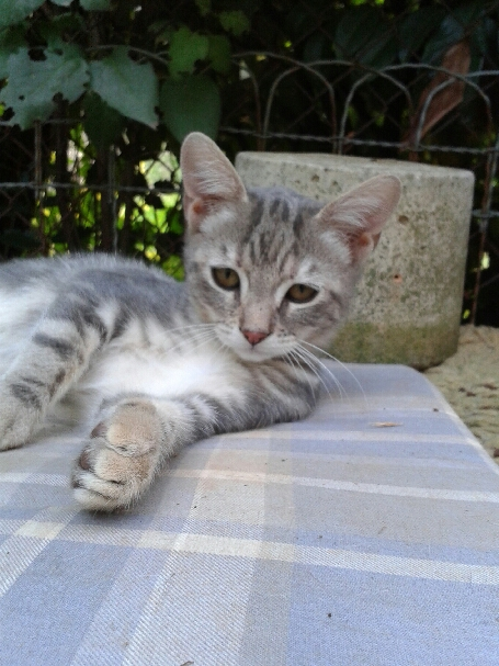 (un) deux chatons nés le 8/05 (13)  Chaton16