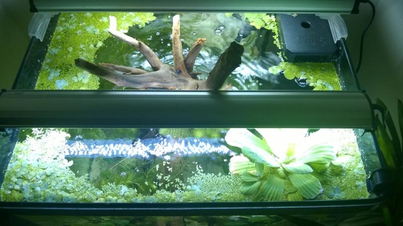 Mon bac avec des tetraodon biocellatus, avec bientot le passage en eaux saumatres Wp_20110