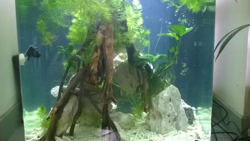 Mon bac avec des tetraodon biocellatus, avec bientot le passage en eaux saumatres Wp_20114