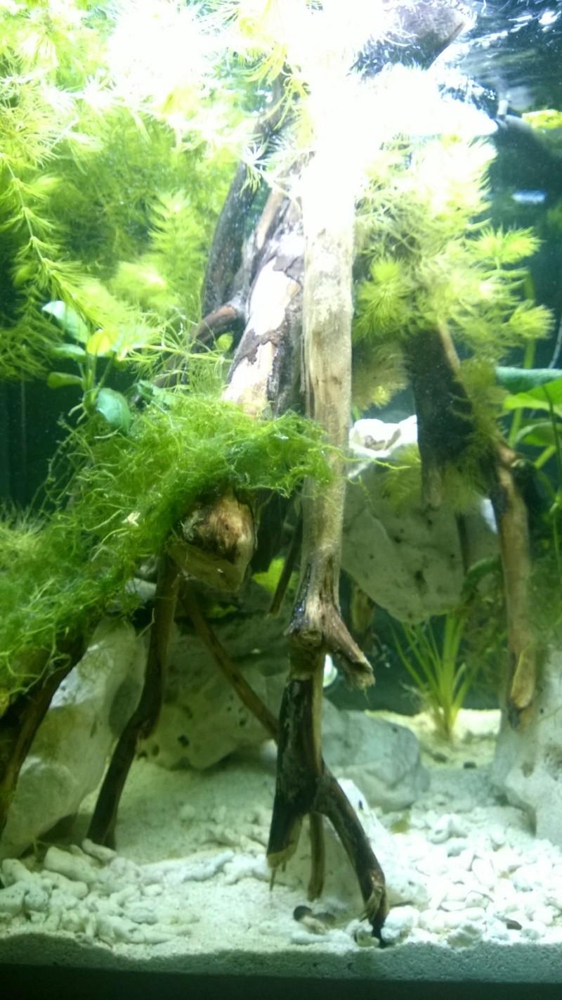 Mon bac avec des tetraodon biocellatus, avec bientot le passage en eaux saumatres Wp_20115