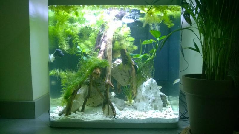 Mon bac avec des tetraodon biocellatus, avec bientot le passage en eaux saumatres Wp_20117