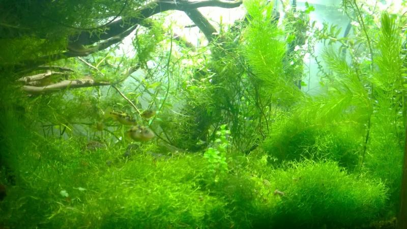 Mes carinotétraodon travancoricus Wp_20124