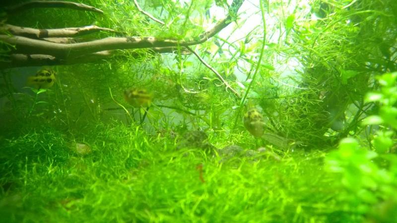 Mes carinotétraodon travancoricus Wp_20127