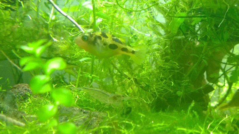Mes carinotétraodon travancoricus Wp_20128