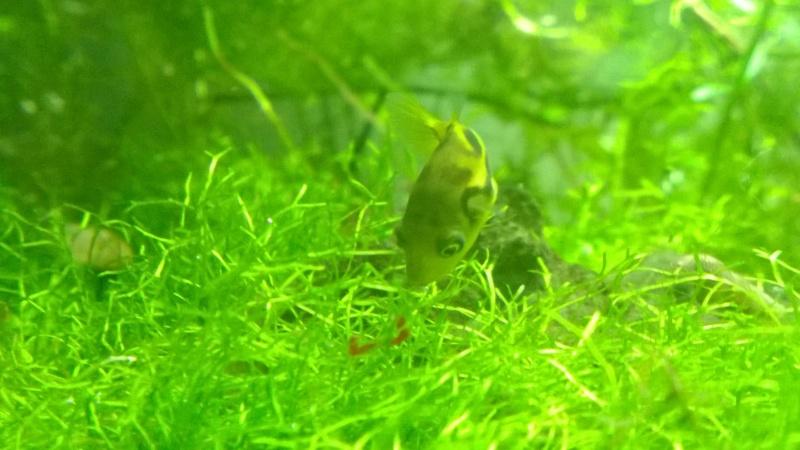 Mes carinotétraodon travancoricus Wp_20129