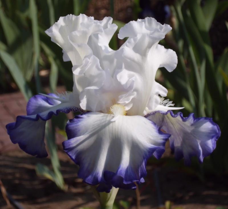 Iris a eperons  Dsci0013