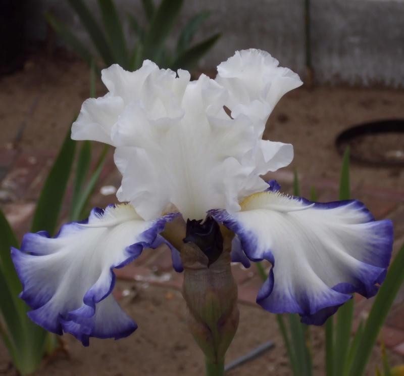 Iris a eperons  Dsci0014