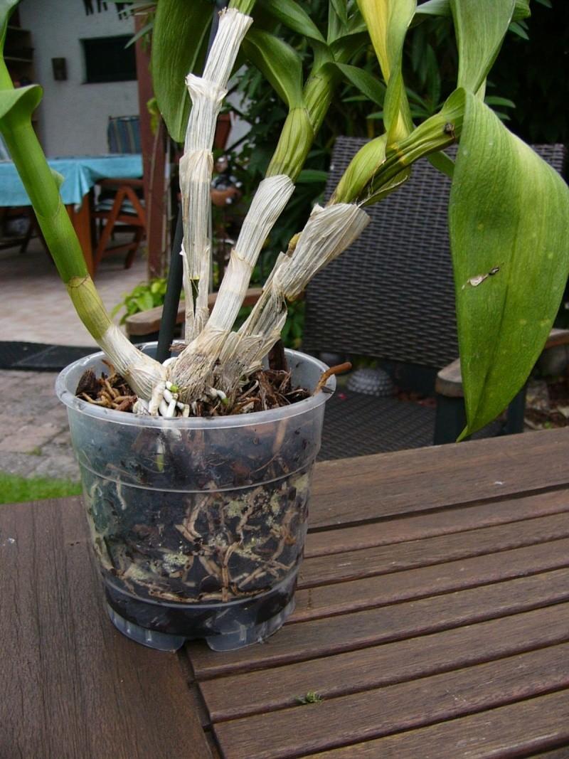 nach Tauchen: gelbe Blätter,braune Blätter, Befall an Wurzeln Dendro12