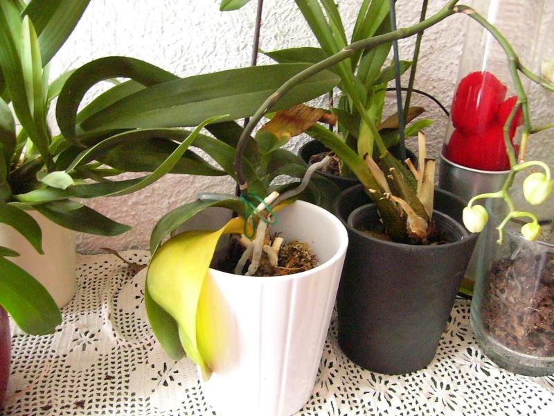 nach Tauchen: gelbe Blätter,braune Blätter, Befall an Wurzeln Gelbe_10