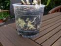 nach Tauchen: gelbe Blätter,braune Blätter, Befall an Wurzeln Dendro11