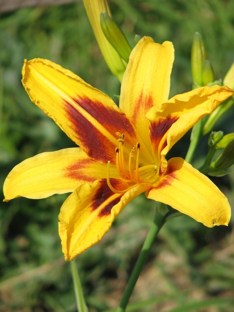 Hemerocallis - Taglilien - Schönheiten im Juni und Juli - Seite 6 Bonanz10