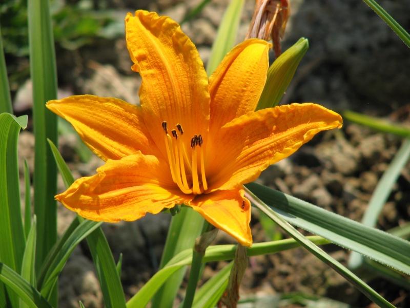 Hemerocallis - Taglilien - Schönheiten im Juni und Juli - Seite 6 Burnin10