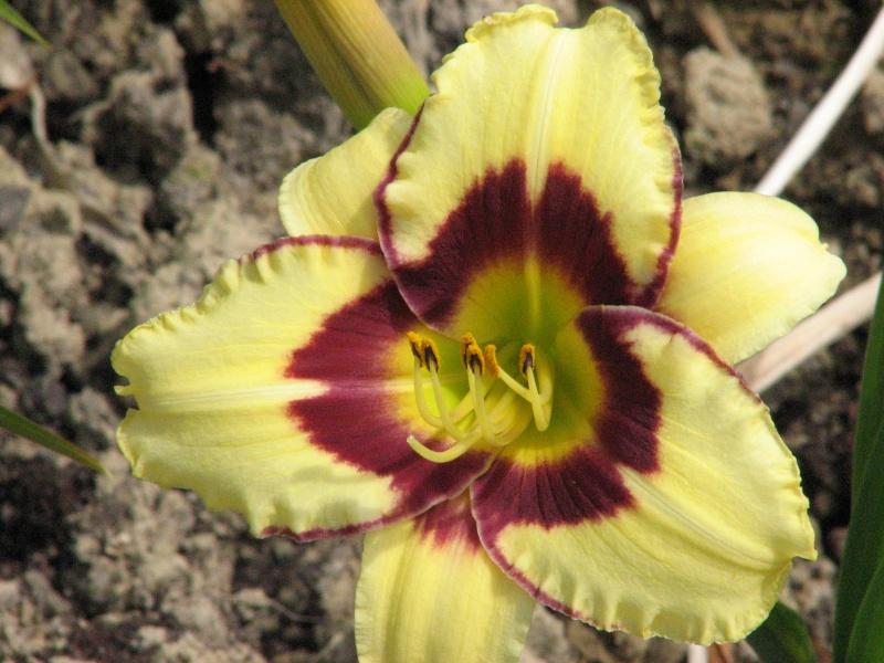Hemerocallis - Taglilien - Schönheiten im Juni und Juli - Seite 6 El_des10