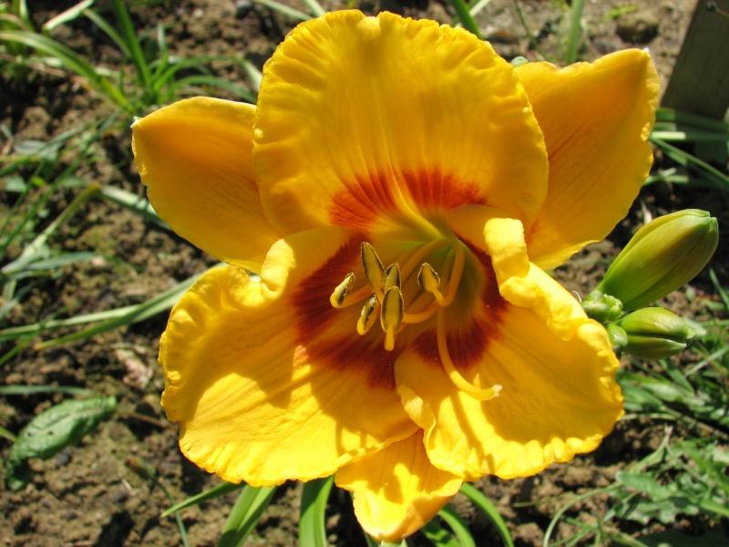 Hemerocallis - Taglilien - Schönheiten im Juni und Juli - Seite 6 Fooled10