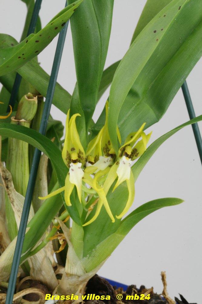 Brassia villosa Brassi21
