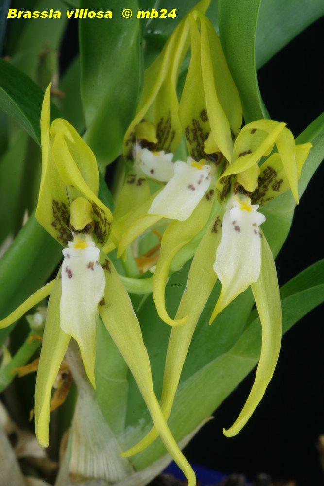 Brassia villosa Brassi22