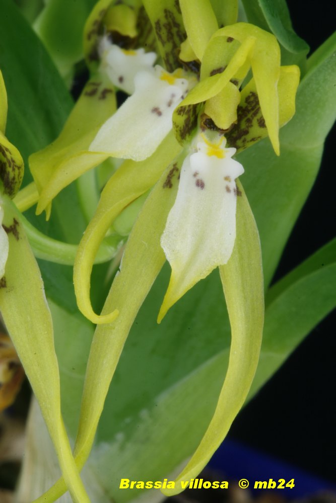 Brassia villosa Brassi23