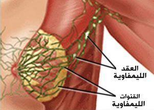 الصفة التشريحية لثدي البالغة 310
