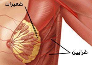 الصفة التشريحية لثدي البالغة 610