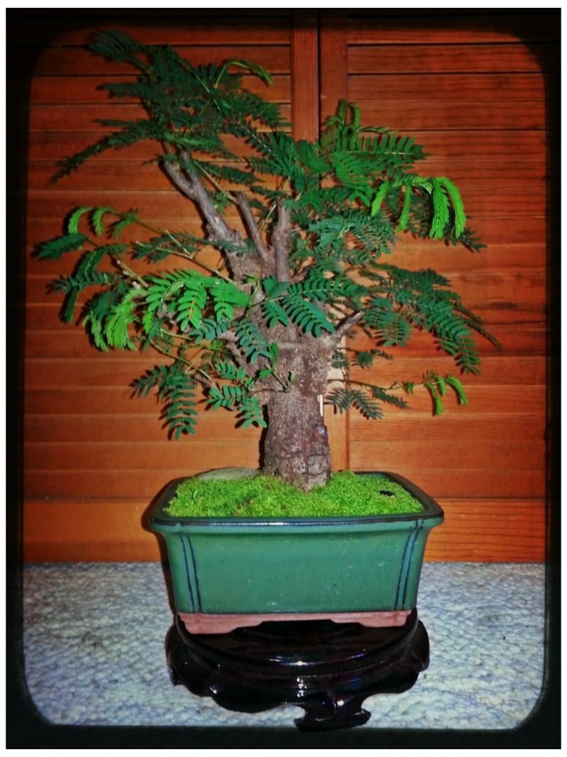 Leucaena Leucocephala (aka Mimosa, Haole koa) progression from Yamadori 14064011