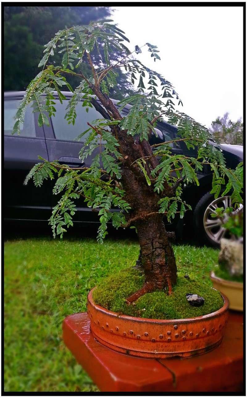 Leucaena Leucocephala (aka Mimosa, Haole koa) progression from Yamadori 14184210