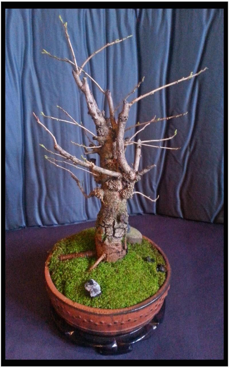 Leucaena Leucocephala (aka Mimosa, Haole koa) progression from Yamadori 14198810