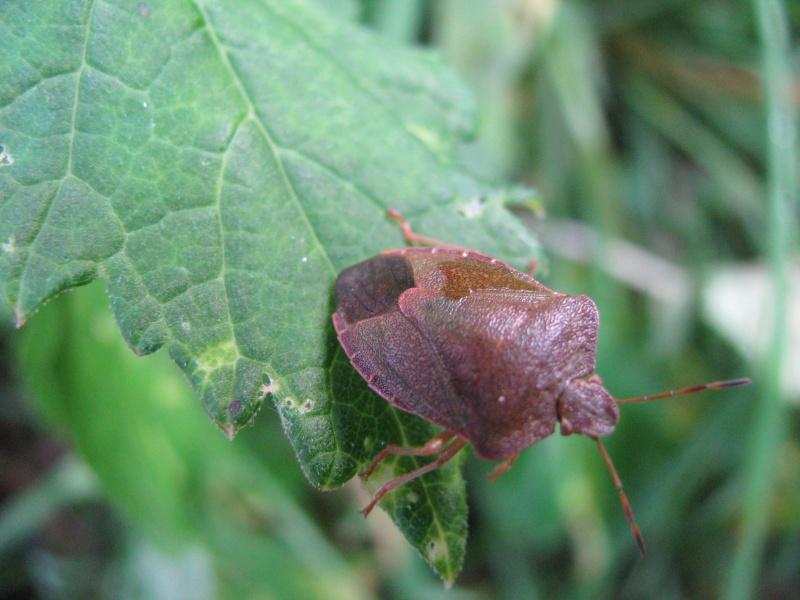 Piezodorus lituratus ou dolycoris baccarum ? Img_0215