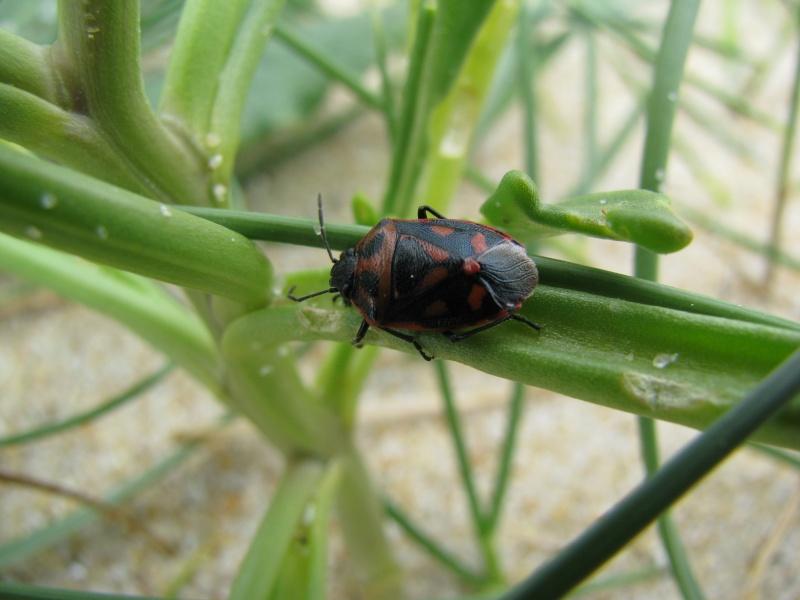 [Eurydema herbacea] ID punaise rouge et noire dans cakillier maritime Img_6920