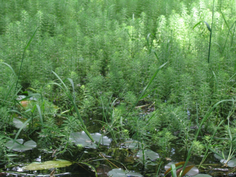 Aquatique, [Myriophyllum brasiliense et Aponogeton distachyos] Img_8028