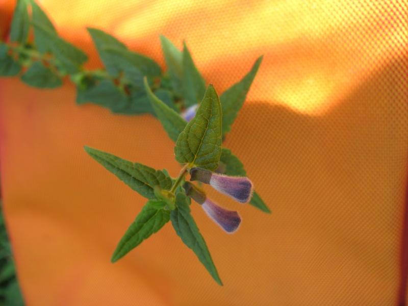 Scrophulariacée ...(Scutellaria galericulata) Img_9210