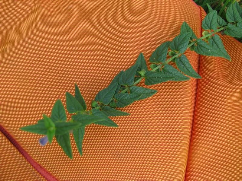 Scrophulariacée ...(Scutellaria galericulata) Img_9213
