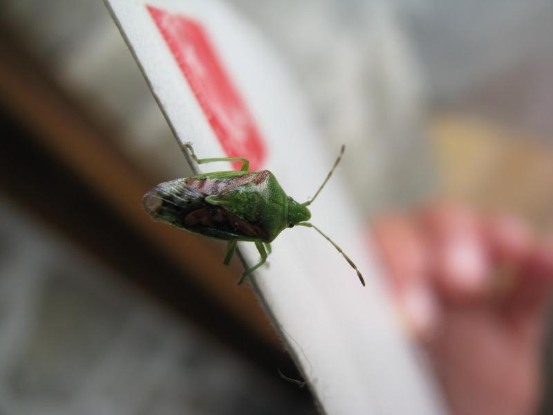 [Piezodorus lituratus + Cyphostethus tristriatus + Elasmucha grisea] Piezodorus lituratus Img_9310