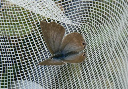 Azuré porte-queue (Lampides boeticus) P1110010