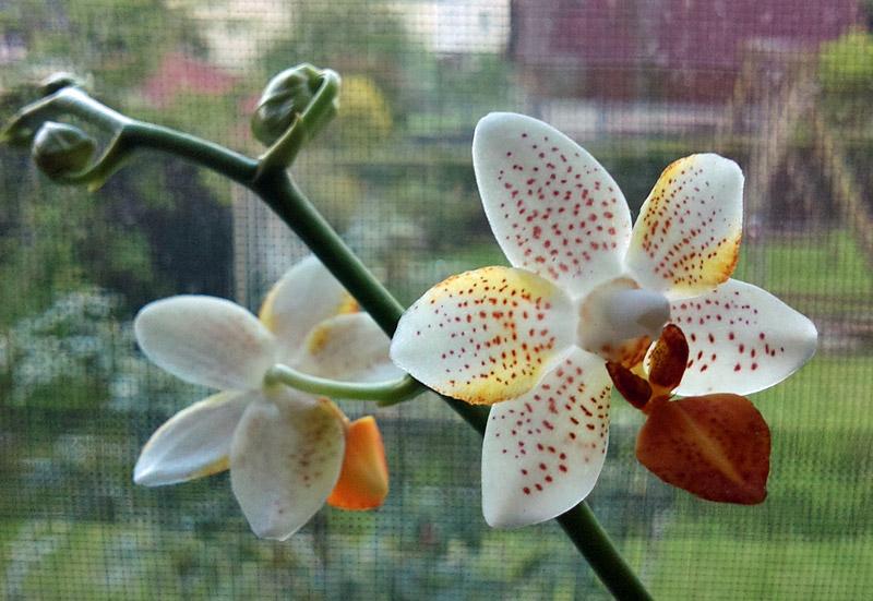 Phalaenopsis Mini Mark Minima10