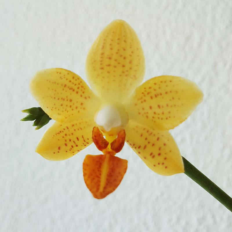 Phalaenopsis Mini Mark Minima12