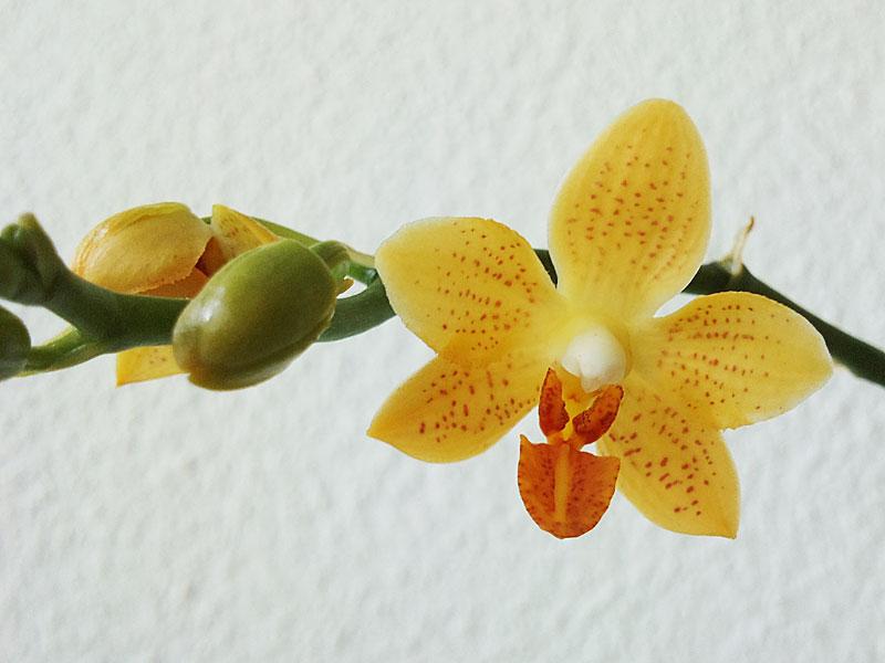 Phalaenopsis Mini Mark Minima13