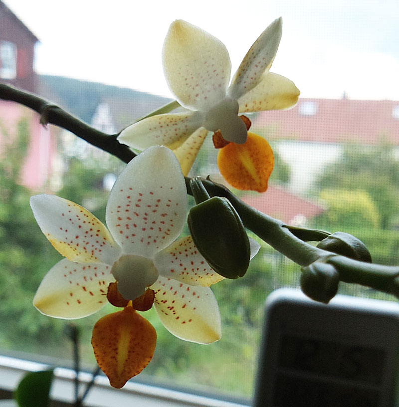 Phalaenopsis Mini Mark - Seite 2 Minima14