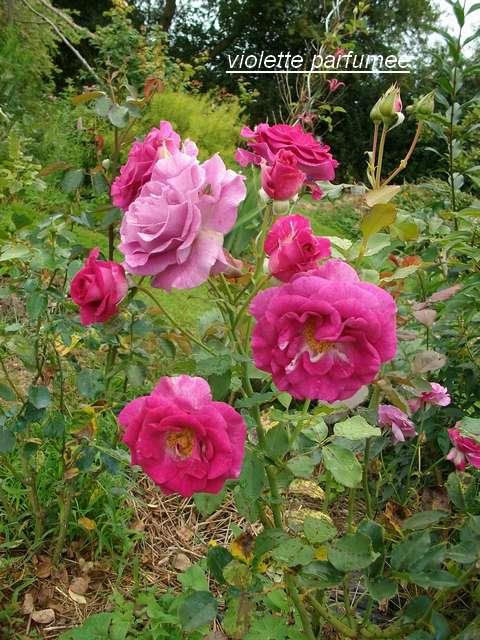 Rosa 'Violette Parfumée !!! - Page 3 Aout_020