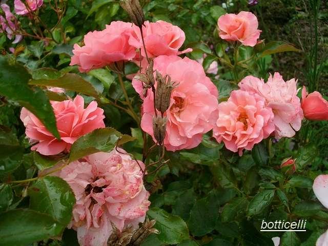Rosa 'Botticelli' - Page 2 Aout_026