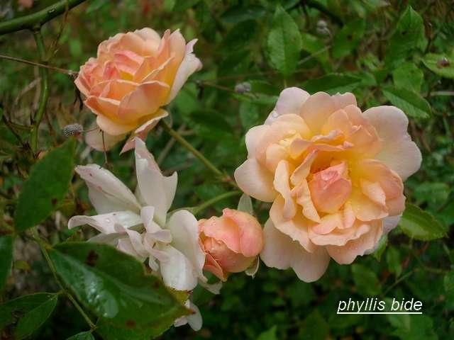 Rosa 'Phyllis Bide' !!! - Page 2 Aout_027