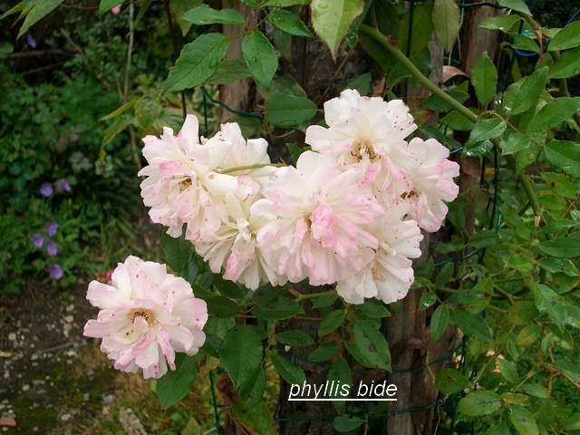 Rosa 'Phyllis Bide' !!! - Page 2 Aout_028