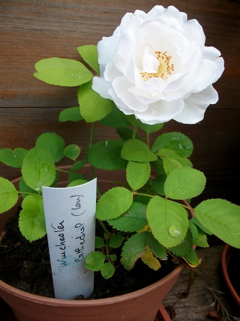 Rosa 'Winchester Cathedral' !!! - Page 2 Aout_086