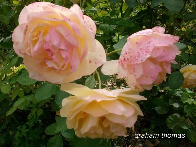 'Graham Thomas' !!! - Page 2 Aout_090