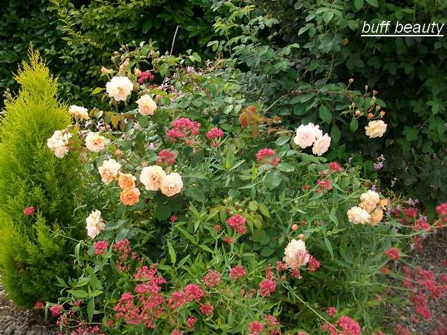Rosa 'Buff Beauty' !!! - Page 5 Aout_093